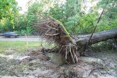 Ξεριζωμένο δρύινο δέντρο Στοκ φωτογραφίες με δικαίωμα ελεύθερης χρήσης