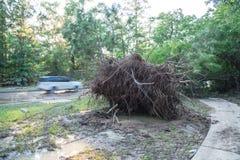 Ξεριζωμένο δρύινο δέντρο στοκ φωτογραφίες
