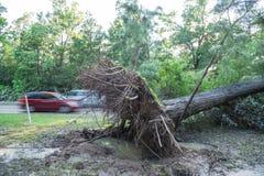 Ξεριζωμένο δρύινο δέντρο στοκ εικόνες με δικαίωμα ελεύθερης χρήσης