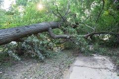 Ξεριζωμένο δρύινο δέντρο Στοκ Εικόνες