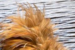 Ξεσκονόπανο φτερών Στοκ Εικόνες