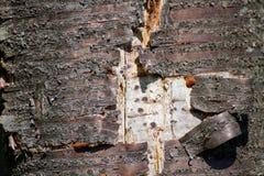 Ξεφλουδισμένος φλοιός στο δέντρο στοκ εικόνες