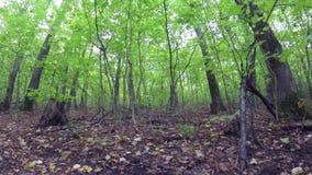 Ξεχασμένη δασική πορεία Ρωσικό δάσος απόθεμα βίντεο