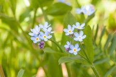 Ξεχνώ-εμένα-κανένα λουλούδι Στοκ εικόνα με δικαίωμα ελεύθερης χρήσης