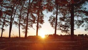 Ξημερώματα με την ανατολή στο δασικό όμορφο δάσος πεύκων πεύκων το χειμώνα ο ήλιος λάμπει μέσω του τουρισμού με σκοπο την επαφή μ απόθεμα βίντεο
