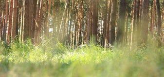 Ξημερώματα το δασικό ινδικό καλοκαίρι πεύκων στο κωνοφόρο δάσος στον ηλιόλουστο καιρό το πρωί Στοκ Εικόνες