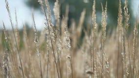 Ξηρά άγρια χλόη στο μαλακό υπόβαθρο θαμπάδων φθινοπώρου εστίαση ρηχή φιλμ μικρού μήκους