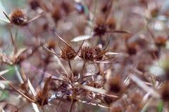 Ξηρά άνθη ενός μπλε-κεφαλιού στον τομέα Το έντονο πορτοκαλί χρώμα της επάνθισης δείχνει την ωριμότητα των σπόρων κλείστε στοκ εικόνες