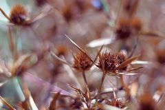Ξηρά άνθη ενός μπλε-κεφαλιού στον τομέα Το έντονο πορτοκαλί χρώμα της επάνθισης δείχνει την ωριμότητα των σπόρων κλείστε στοκ φωτογραφίες με δικαίωμα ελεύθερης χρήσης