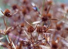 Ξηρά άνθη ενός μπλε-κεφαλιού στον τομέα Το έντονο πορτοκαλί χρώμα της επάνθισης δείχνει την ωριμότητα των σπόρων κλείστε στοκ φωτογραφίες