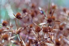 Ξηρά άνθη ενός μπλε-κεφαλιού στον τομέα Το έντονο πορτοκαλί χρώμα της επάνθισης δείχνει την ωριμότητα των σπόρων κλείστε στοκ εικόνα με δικαίωμα ελεύθερης χρήσης