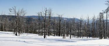 Ξηρά δέντρα Χιονώδης χειμώνας πανόραμα Στοκ εικόνα με δικαίωμα ελεύθερης χρήσης
