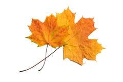 ξηρά απομονωμένα φύλλα δύο φ Στοκ Εικόνες