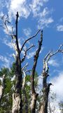 Ξηρά δέντρα και ο μπλε ουρανός Στοκ Εικόνα