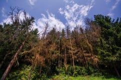 Ξηρά δέντρα πεύκων σε έναν πράσινο δασικό και όμορφο ουρανό με τα σύννεφα Στοκ Εικόνες