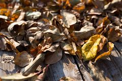 Ξηρά κίτρινα φύλλα μήλων στον αγροτικό πίνακα πεύκων στοκ φωτογραφία με δικαίωμα ελεύθερης χρήσης