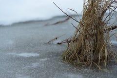 Ξηρά κίτρινη χλόη που παγώνει στη λίμνη κλείστε επάνω Στοκ εικόνα με δικαίωμα ελεύθερης χρήσης