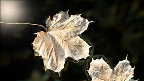 Ξηρά και εξασθενισμένα φύλλα σφενδάμου που επιπλέουν στην επιφάνεια των ήρεμων νερών με τις αφηρημένες ακτίνες ήλιων Στοκ Εικόνα