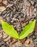 Ξηρά και φρέσκα φύλλα Στοκ Εικόνες