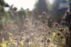 Ξηρά λουλούδια φθινοπώρου στον κήπο φθινοπώρου μια ηλιόλουστη ημέρα Στοκ εικόνες με δικαίωμα ελεύθερης χρήσης