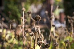 Ξηρά λουλούδια φθινοπώρου στον κήπο φθινοπώρου μια ηλιόλουστη ημέρα Στοκ Φωτογραφία