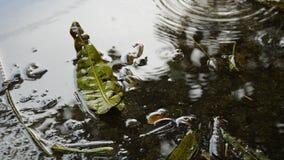 Ξηρά μείωση φύλλων μάγκο στο έδαφος και την πέφτοντας βροχή φιλμ μικρού μήκους