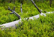 Ξηρά ξύλο και βακκίνια Στοκ εικόνες με δικαίωμα ελεύθερης χρήσης