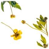 Ξηρά λουλούδια νεραγκουλών Στοκ Εικόνες