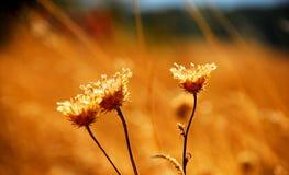 Ξηρά λουλούδια στον τομέα Στοκ εικόνα με δικαίωμα ελεύθερης χρήσης