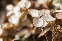 Ξηρά λουλούδια hydrangea Στοκ φωτογραφία με δικαίωμα ελεύθερης χρήσης