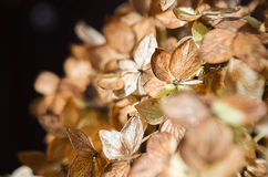 Ξηρά λουλούδια hydrangea Στοκ εικόνες με δικαίωμα ελεύθερης χρήσης