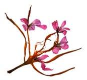 Ξηρά πέταλα κρίνων και πιεσμένα λουλούδια Στοκ φωτογραφία με δικαίωμα ελεύθερης χρήσης
