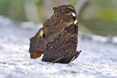 Ξηρά πεταλούδα Στοκ φωτογραφίες με δικαίωμα ελεύθερης χρήσης