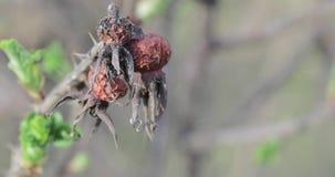 Ξηρά ροδαλά ισχία και πράσινοι βλαστοί φιλμ μικρού μήκους