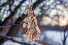 Ξηρά σπόρος-ελικόπτερα το χειμώνα στοκ φωτογραφίες