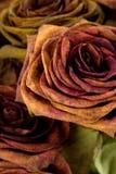 ξηρά τριαντάφυλλα Στοκ φωτογραφίες με δικαίωμα ελεύθερης χρήσης