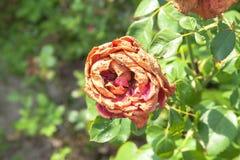 Ξηρά τριαντάφυλλα Στοκ εικόνα με δικαίωμα ελεύθερης χρήσης