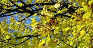 Ξηρά φύλλα δέντρων φθινοπώρου κίτρινα, θολωμένο φυσικό υπόβαθρο φθινοπώρου οικολογίας στοκ φωτογραφία