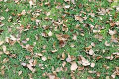 Ξηρά φύλλα στο χορτοτάπητα, ξηρά φύλλα υποβάθρου στη χλόη στον κήπο Στοκ Εικόνες