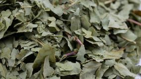 Ξηρά φύλλα του coggygria cotinus Εκλεκτική εστίαση απόθεμα βίντεο