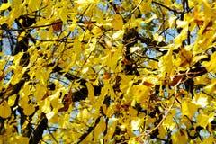 Ξηρά φύλλα φθινοπώρου ενάντια στο μπλε ουρανό, φυσικό υπόβαθρο φθινοπώρου οικολογίας στοκ εικόνα με δικαίωμα ελεύθερης χρήσης