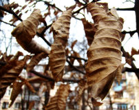 Ξηρά φύλλα κάστανων Στοκ φωτογραφίες με δικαίωμα ελεύθερης χρήσης