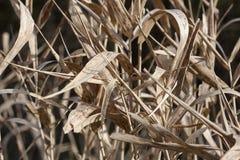 Ξηρά φύλλα καλάμων Στοκ φωτογραφία με δικαίωμα ελεύθερης χρήσης