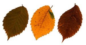 Ξηρά φύλλα της λεύκας τομέων Στοκ Εικόνες