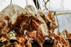 Ξηρά φύλλα των αγγουριών Στοκ Εικόνες