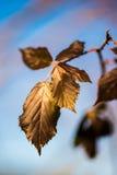 ξηρά φύλλα φθινοπώρου Στοκ Εικόνες