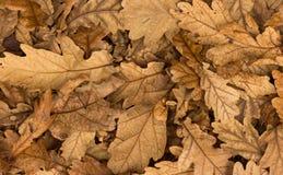 Ξηρά φύλλα Acron Στοκ φωτογραφία με δικαίωμα ελεύθερης χρήσης