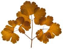 Ξηρά φύλλα aquilegia που απομονώνονται στο λευκό Στοκ φωτογραφίες με δικαίωμα ελεύθερης χρήσης