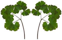 Ξηρά φύλλα aquilegia που απομονώνονται στο λευκό Στοκ εικόνες με δικαίωμα ελεύθερης χρήσης