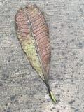 Ξηρά φύλλα plumeria Στοκ Φωτογραφία